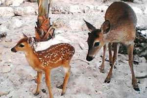 see the keys deer in florida keys