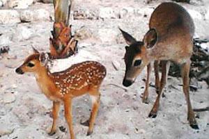 see the keys deer in florida keys