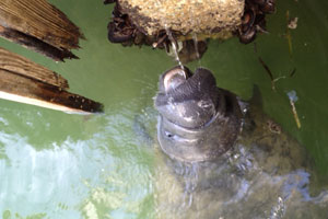 manatees in the florida keys